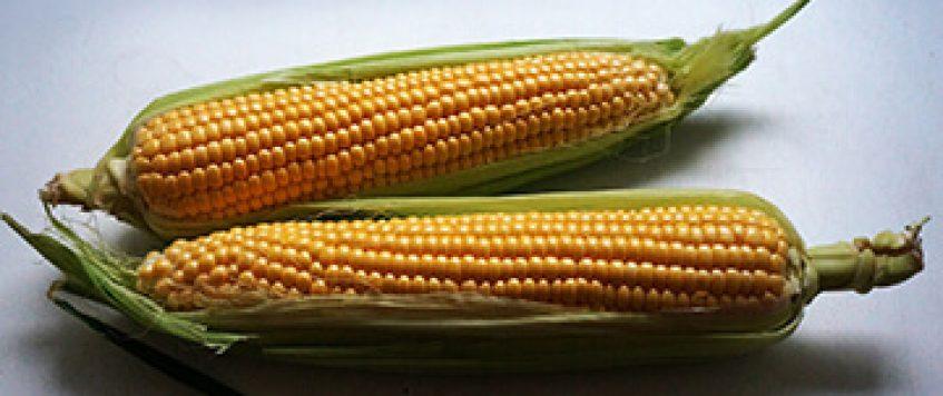 corn2-fit